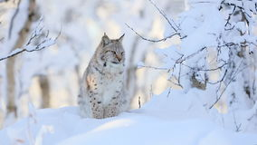 Lynx cub in the cold winter forest stock video