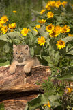 Lynx cub. In Montana on log Sunflowers Stock Photography