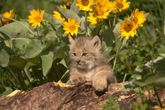 Lynx cub. In Montana on log Sunflowers Stock Images