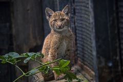 Lynx cub. Photo of young lynx taken in the zoo Royalty Free Stock Images