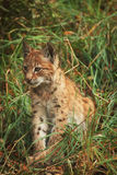 Lynx cub. A portrait of a lynx cub sitting in the forest Royalty Free Stock Image