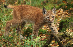 Lynx cub. A lynx cub walking in the forest Royalty Free Stock Images