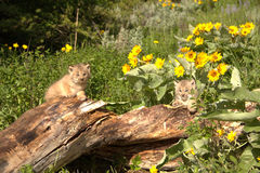 Lynx cubs. In Montana on log Sunflowers pair Stock Photo