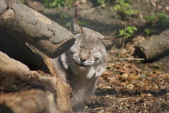 Lynx d'Eurasien Lynx - de Lynx Image libre de droits