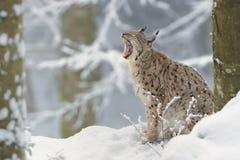 Lynx d'Eurasien Lynx - de Lynx Photographie stock libre de droits