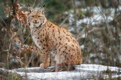Lynx d'Euroasian face à face en parc national bavarois en à l'Est de l'Allemagne Photo stock