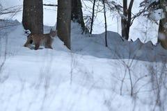 Lynx d'Euroasian face à face en parc national bavarois en à l'Est de l'Allemagne Images libres de droits