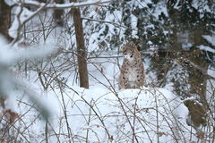 Lynx d'Euroasian face à face en parc national bavarois en à l'Est de l'Allemagne Images stock