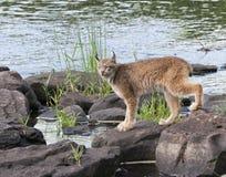 Lynx da un fiume Fotografia Stock