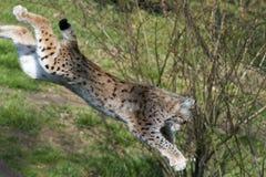 Lynx dans Gaiazoo Photographie stock libre de droits