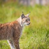 Lynx dans l'herbe Photo stock