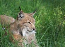 Lynx dans la forêt Images stock