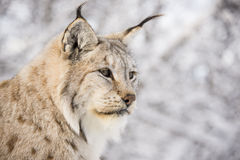 Lynx dans la forêt Image stock