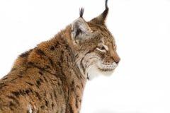 Lynx dans la neige Image stock