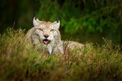 Lynx dans la scène verte de faune de forêt de la nature Lynx eurasien de marche, comportement animal dans l'habitat Chat sauvage  Photos libres de droits