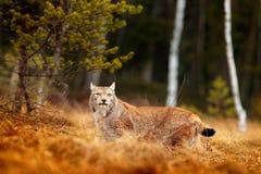 Lynx dans la scène verte de faune de forêt de la nature Lynx eurasien de marche, comportement animal dans l'habitat Chat sauvage  Photographie stock