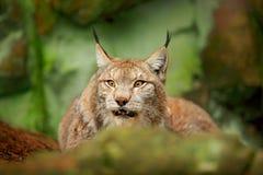 Lynx dans la scène verte de faune de forêt de la nature Lynx eurasien de marche, comportement animal dans l'habitat Chat sauvage  Photographie stock libre de droits