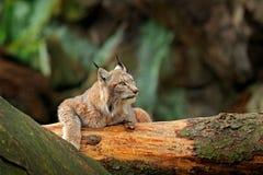 Lynx dans la scène verte de faune de forêt de la nature Lynx eurasien de marche, comportement animal dans l'habitat Chat sauvage  Photo libre de droits