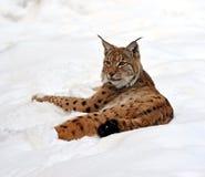 Lynx dans le leur Photographie stock libre de droits
