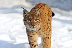Lynx dans le leur Photographie stock