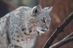 Lynx dans un acroupissement prêt à sauter Photographie stock