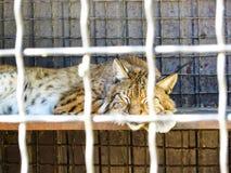 Lynx dans une cage photos libres de droits