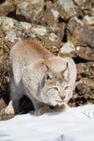 Lynx de acroupissement dans la neige Photographie stock libre de droits