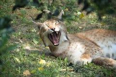 Lynx de baîllement Images stock