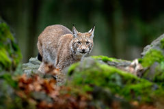 Lynx in de boslynx van de mossteen, Europees-Aziatische wilde kat die op groene mosrots lopen met groen bos op achtergrond, dier  Stock Foto