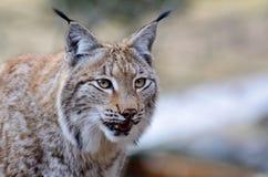 Lynx de cachette Photographie stock