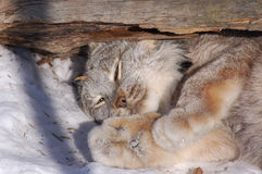 Lynx de Canada Photos stock