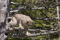 Lynx de Canada Photo libre de droits
