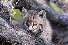 Lynx de Canadienne de chéri Photographie stock