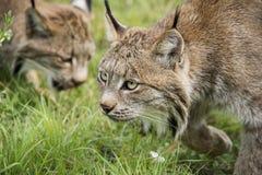 Lynx de Candian en captivité photos libres de droits