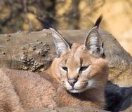 Lynx de Desrt - Caracal caracal Photographie stock libre de droits