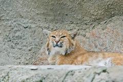 Lynx in de dierentuin van Moskou Stock Afbeeldingen