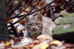 Lynx de égrappage Photos stock