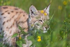 Lynx de jacht in het gras Stock Afbeeldingen