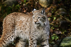 Lynx de lynx Photos stock