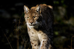 Lynx de lynx Image libre de droits