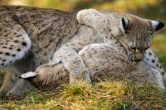 Lynx de lynx Images libres de droits