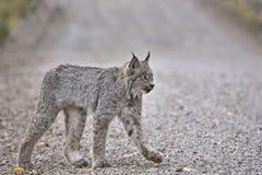 Lynx de montagne rocheuse Image libre de droits