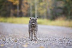 Lynx de montagne rocheuse Photos stock