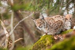 Lynx de portrait Photos libres de droits