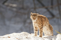 Lynx in de sneeuw stock foto