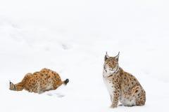 Lynx in de sneeuw Stock Foto's