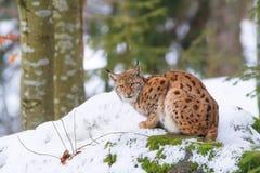 Lynx in de sneeuw Stock Afbeelding