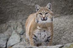 Lynx de verticale se reposant sur une roche Photos libres de droits
