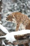 Lynx in de winter Stock Foto's