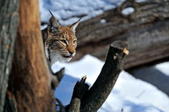 Lynx in de winter Royalty-vrije Stock Afbeeldingen